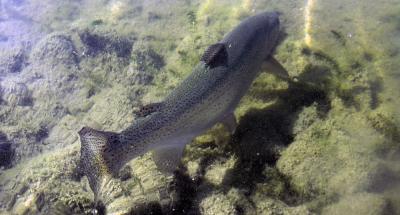 Lochter Fishery Rainbow Trout