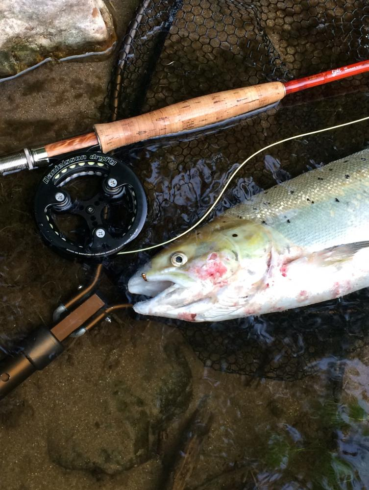 Fishing The Fly Forum Salmo