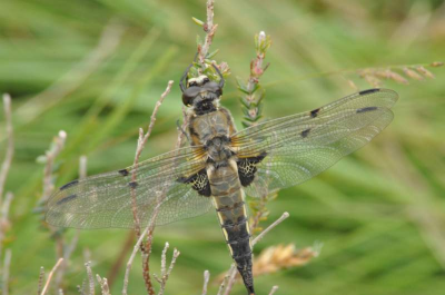Assynt Dragonfly
