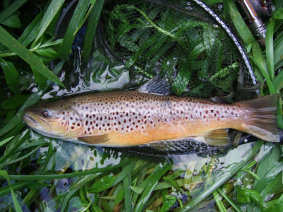 Suffolk trout