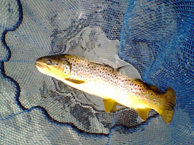 my first brown trout at haddo