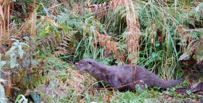 Haddo Otter