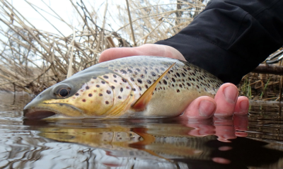 Nice trout from Sandy
