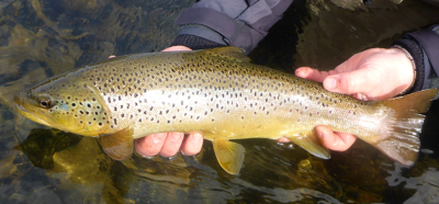 Nice trout from Scott