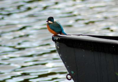 Haddo Kingfisher