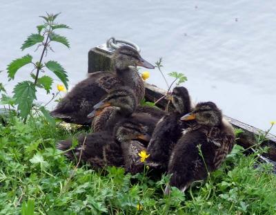 Young Haddo Ducks