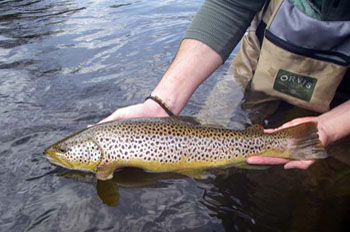 A nice River Don Brown Trout
