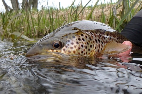 River Don Brown Trout